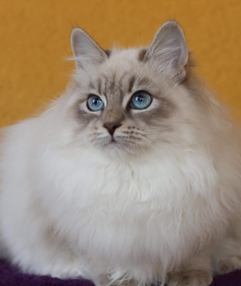 About Blue Frost Siberians